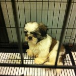 5 Month Old Shih Tzu Pedigree Puppy For Adoption (Joo N Teng's)