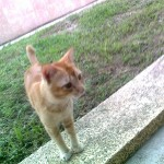 Bruno Jr, Male Cat Neutered (Basirah Mohd Ibrahim's, From Sg Petani)