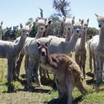 Kangaroos Down Under…