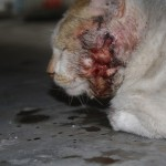 The Injured Cat – Rescued And Treated (Shain Rashid's)