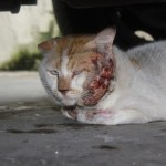 Urgent Help Needed To Rescue An Injured Cat (Shain Rashid's)