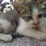 Anak Kucing Hernia (Nurul Huda Mat Dan)
