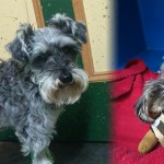 The Plight Of A Schnauzer – Episode 2: Defeat