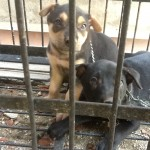 Urgent: 6-7 Puppies Need Help (Ron & Carol Khoo's)