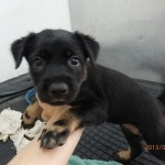 4 Puppies For Adoption (Teresa Chian Li Kim's)