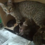 Abandoned Mother-Cat And 5+2 Kittens For Adoption (Mayo Clinic, USJ Taipan)