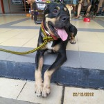 Baby The Boxer/Rottweiler Cross For Adoption (Koo Swee Por's)