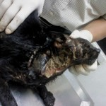 Medical Subsidy For Kutam (RIP), Abandoned Cat (Yap Siew Hwa's)