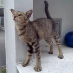 Fifi, Spayed Female Cat For Adoption (Dani Irwan Masbah's)