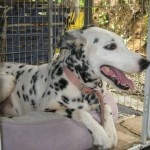Dalmation For Adoption
