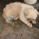 Medical Sponsorship For 1 Dog With Tick Fever (Kelly Tan Juat Jong's)