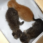 Baby Kittens For Adoption (Yee Meng Ho's)