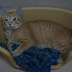 Thong-Loeng, A Rescued CH Male Cat For Adoption (Dr Veeranoot Nissapatorns)