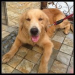 Found: Golden Retriever In SS14, Subang Jaya – Is It Your Dog? (Eileen Ng Ai Ling's)