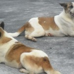 Lek-Lek And Sonny, Mother-And-Son Dogs, Missing From Imm's Shelter In Tambun, Ipoh