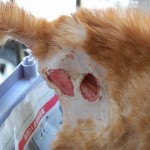 Medical And Neutering Subsidy For Injured Male Kitten (Goh Hwe Yong's)
