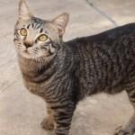 Neutering Sponsorship For 1 Male Cat, Meh Meh (Nicole Kuang Wei Fen's)