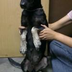 Spaying Sponsorship For 2 Female Dogs, Beanie & Brandy (Celia Chin Siew Kim's)