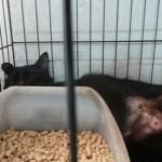 Medical Subsidy And Spaying Sponsorship For 3 Cats In Skudai (Norshahadah Bt Rusli's)