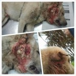 Medical Subsidy For Beaten Dog, Jackie (Lester Hiew Thiam Hock & Jenny Khong Chin Chin's)