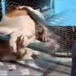 Animal Handlers Cruelty