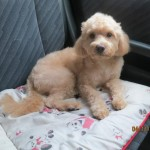 Male Poodle Mix Found In TTDI, KL (Koo Swee Por's)