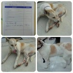Spaying Sponsorship And Medical Subsidy For 3 Dogs In Kluang (Tan Mei Lian's)