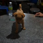 Abandoned Puppy For URGENT Adoption (Dr Veeranoot Nissapatorn's)