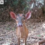 A Juvenile Barking Deer Taking A 'selfie' On @wwfmy Camera Trap. Since 2009, Malaysia Has Banned The