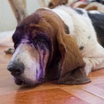 Vets Try To Save Sight Of Basset Hound Stabbed In The Eyes