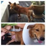 Neutering Sponsorship For Shorty The Dog (Mary Soh Chooi Bing's)