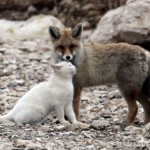 Best Friends: Fox And Cat Living On The Shores In Turkey
