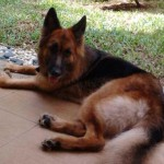 5 Year-Old German Shepherd For Adoption (Loo Kim Gaik's)