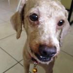 Poodle For Adoption (Edna Espinase Pagayonan's)
