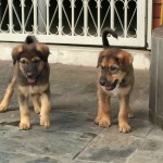 2 Female Puppies For Adoption (Lee Oi Loon's)