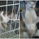 Spaying Sponsorship For Nancy, Female Cat (Lucia Foo Suan Chan's)