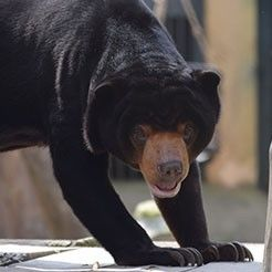 Rescued Sun Bear Steps On Grass For First Time Aft..
