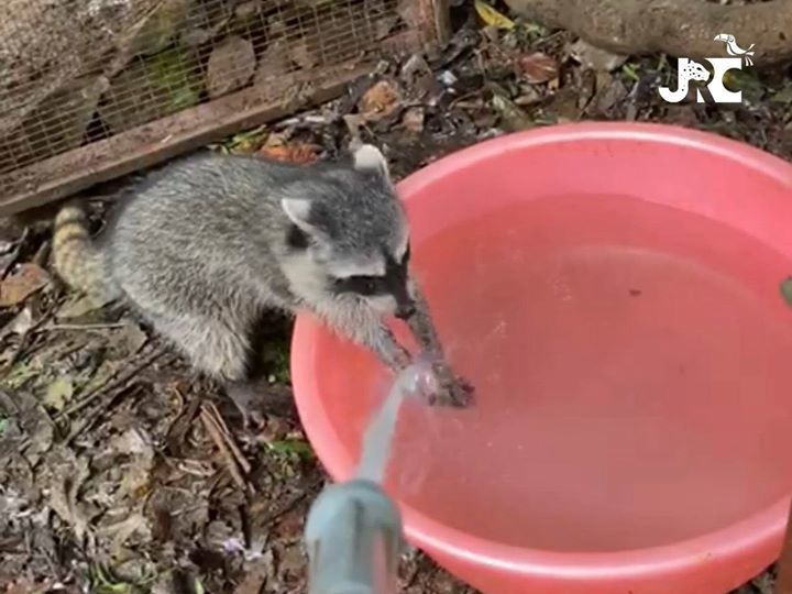 Raccoon Washing His Hands!