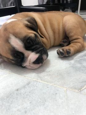 Update The Puppy Has Been Adopted. Bulldog Puppy L..