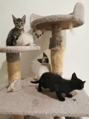 Kittens 5 Months Old. As Pair Only.  - Domestic Short Hair Cat