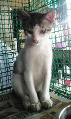 Juan (Brown & White) - Domestic Short Hair Cat