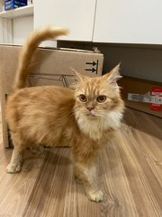 Saffron - Domestic Medium Hair + Persian Cat