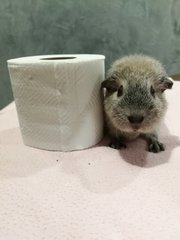 piggy reminds everybody not to hoard toilet papers