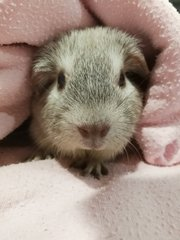snugly, comfortable, warm and cosy... we are indoor guinea pigs with fan on 24/7