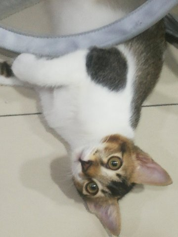 Calico - Domestic Short Hair Cat