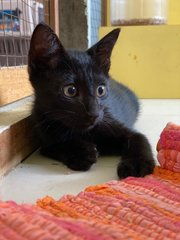 Panther - Domestic Short Hair Cat