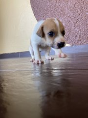 Puppy 1 - Mixed Breed Dog