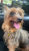 Penny  - Silky Terrier Dog