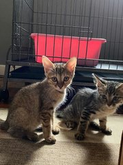 Mummy And 2 Kittens - Tabby Cat
