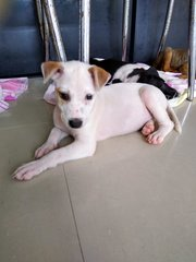 Dancer ( Female Mongrel Pup) - Mixed Breed Dog